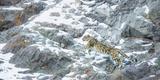 Snow Leopard (Panthera Uncia) Hemis National Park, India, February Fotodruck von Wim van den Heever