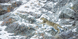 Snow Leopard (Panthera Uncia) Hemis National Park, India, February Photographic Print by Wim van den Heever