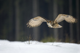 Ben Hall - Eurasian Eagle Owl (Bubo Bubo) Flying Low over Snow Covered Grouns with Trees in Background Fotografická reprodukce