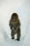 Japanese Macaque - Snow Monkey (Macaca Fuscata) 8-Month-Old Monkey Walking Through Thick Snow Photographic Print by Yukihiro Fukuda