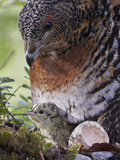 Female Capercaillie (Tetrao Urogallus) with Newly Hatched Chick on Nest, Kuhmo, Finland, June Photographic Print by Markus Varesvuo