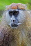 Male Patas Monkey - Wadi Monkey - Hussar Monkey (Erythrocebus Patas) Laikipia Game Reserve Photographic Print by Mark Macewen