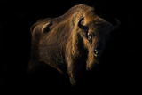 European Bison (Bison Bonasus) Standing in Shadow Photographic Print by Edwin Giesbers