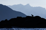 Silhouette of White-Tailed Eagle (Haliaeetus Albicilla) Sitting on Coastal Rocks Photographic Print by Espen Bergersen