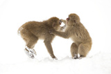 Snow Monkeys (Macaca Fuscata) Young Fighting in Snow, Nagano, Japan, February Photographic Print by Danny Green