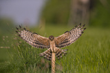 Montagu's Harrier (Circus Pygargus) Female Landing, Germany Photographic Print by Hermann Brehm