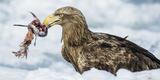 White Tailed Sea Eagle (Haliaeetus Albicilla) Feeding on Fish on Pack Ice Fotodruck von Wim van den Heever