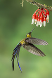 Violet-Tailed Sylph Hummingbird (Aglaiocercus Coelestis) Hummingbird Adult Male Photographic Print by Melvin Grey