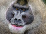 Drill Monkey (Mandrillus Leucophaeus) Adult Male, Portrait, Captive Photographic Print by Mark Bowler