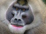 Drill Monkey (Mandrillus Leucophaeus) Adult Male, Portrait, Captive Photographic Print by Mark Bowler