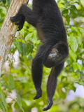 Guatemalan Black Howler Monkey (Alouatta Pigra) Climbing Photographic Print by Kevin Schafer