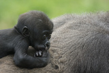 Western Lowland Gorilla (Gorilla Gorilla Gorilla) Baby Age 45 Days Photographic Print by Edwin Giesbers