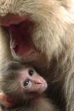 Japanese Macaque (Macaca Fuscata) Nursing One Month Old Baby Photographic Print by Yukihiro Fukuda