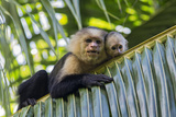 White-Faced Capuchin (Cebus Capucinus Imitator) Mother and Baby. Osa Peninsula, Costa Rica Photographic Print by Suzi Eszterhas