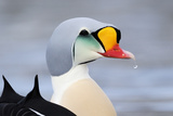 King Eider Duck (Somateria Spectabilis) Male, Batsfjord Village Harbour, Varanger Peninsula, Norway Photographic Print by Staffan Widstrand