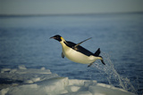 Emperor Penguin Flying Out of Water (Aptenodytes Forsteri) Cape Washington, Antarctica Photographic Print by Martha Holmes