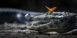 Julia Heleconia (Dryas Julia) Butterfly on Head of Yacare Caiman (Caiman Yacare) Pantanal, Brazil Fotodruck von Wim van den Heever