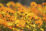 Parachute Daisies (Ursinia Anthemoides) Little Karoo, Western Cape, South Africa Photographic Print by Tony Phelps