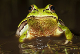 Ridged Tree Frog (Hyla Plicata), Milpa Alta Forest, Mexico, September Photographic Print by Claudio Contreras Koob