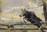 Moose (Alces Alces) Jumping a Fence, Grand Teton National Park, Wyoming, USA, October Photographic Print by George Sanker