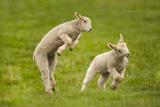 Domestic Sheep, Lambs Playing in Field, Goosehill Farm, Buckinghamshire, UK, April 2005 Fotografisk tryk af Ernie Janes