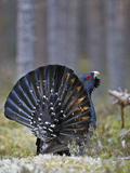 Male Capercaillie (Tetrao Urogallus) Displaying, Jalasjarvi, Finland, April Reproduction photographique par Markus Varesvuo