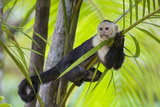 White-Faced Capuchin (Cebus Capucinus Imitator) Resting in Palm Tree. Osa Peninsula, Costa Rica Photographic Print by Suzi Eszterhas