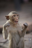 Juvenile Long-Tailed Macaque (Macaca Fascicularis) Flossing its Teeth with String Fotografisk trykk av Mark Macewen
