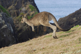 Eastern Grey Kangaroo (Macropus Giganteus) Jumping, Queensland, Australia Photographic Print by Jouan Rius