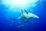 Devilrays (Mobula Tarapacana) Large Group at the Surface Photographic Print by Franco Banfi
