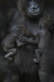 Western Lowland Gorilla (Gorilla Gorilla Gorilla) Twin Babies Age 45 Days Sleeping Photographic Print by Edwin Giesbers