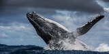 Humpback Whale (Megaptera Novaeangliae) Breaching During Annual Sardine Run Fotodruck von Wim van den Heever