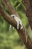 Vervet Monkey (Chlorocebus Aethiops) Resting in Tree Photographic Print by Richard Du Toit