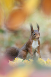 Red Squirrel (Sciurus Vulgaris) in Autumnal Woodland Leaflitter, the Netherlands, November Photographic Print by Edwin Giesbers