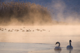 Mute Swan (Cygnus Olor) Pair on Misty Lake Photographic Print by Edwin Giesbers