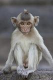 Juvenile Long-Tailed Macaque (Macaca Fascicularis) at Monkey Temple Fotografisk trykk av Mark Macewen