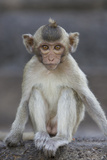 Juvenile Long-Tailed Macaque (Macaca Fascicularis) at Monkey Temple Photographic Print by Mark Macewen