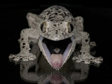 Mossy Leaf-Tailed Gecko, (Uroplatus Sikorae) Captive from Madgascar Photographic Print by Michael D. Kern