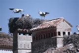 White Storks Nesting on Buildings (Ciconia Ciconia) Spain Reprodukcja zdjęcia