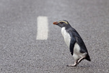 A Fiordland Crested Penguin (Eudyptes Pachyrhynchus) Crosses the Road Heading Back to Sea Photographic Print by Brent Stephenson