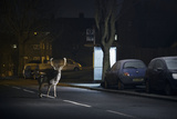 Fallow Deer (Dama Dama) Buck Crossing Road in Front of Bus Stop. London, UK. January Photographic Print by Sam Hobson
