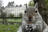 Close-Up of Grey Squirrel (Sciurus Carolinensis) Holding a Nut Fotografisk tryk af Bertie Gregory