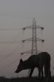Urban Red Fox (Vulpes Vulpes) Silhouetted with an Electricity Pylon in the Distance Photographic Print by  Geslin