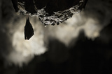 Greater Horseshoe Bat (Rhinolophus Ferrumequinum) Roosting in Cave. Croatia. November Photographic Print by Alex Hyde
