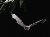 Long Fingered Bat in Flight (Myotis Capaccinii) Europe Photographic Print