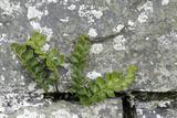 Rustyback Fern (Ceterach Officinarum), Growing in Wall, Near Hartland, North Devon, UK. December Photographic Print by Ross Hoddinott