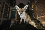 Young Urban Red Fox (Vulpes Vulpes) Standing on a Wall at Night Photographic Print by Sam Hobson