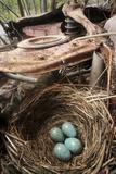 Blackbird (Turdus Merula) Nest with Eggs in Abandoned Car Motor in 'Car Graveyard' Varmland, Sweden Photographic Print by Pal Hermansen