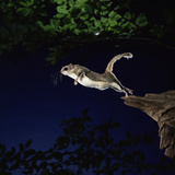 Southern Flying Squirrel Photographic Print