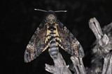Deaths Head Hawk Moth, Spain Photographic Print